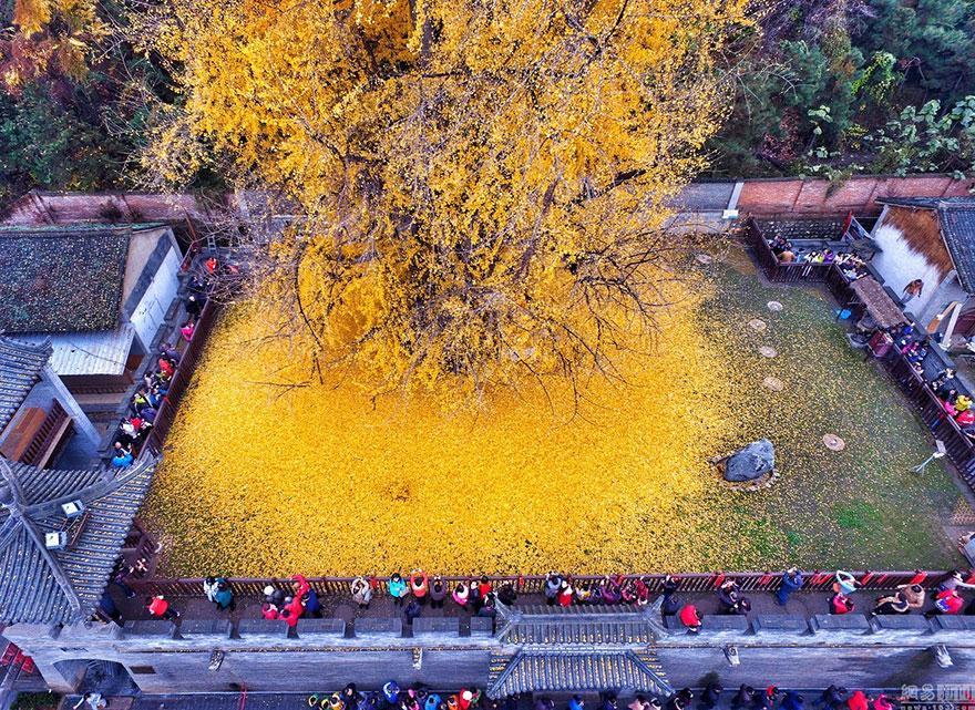 1400 Yıllık Ginkgo Ağacı Görsel Şölene Dönüştü