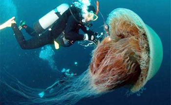 denizanasi